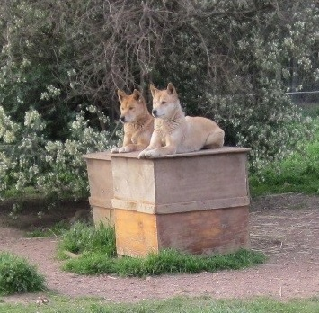 Dingo Haven dogs