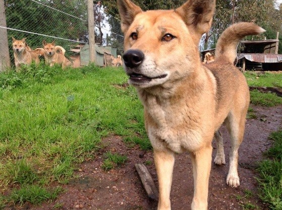 dingo haven one dog with tail up